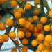 2012 12 19 Orange Berries by kwiksilver