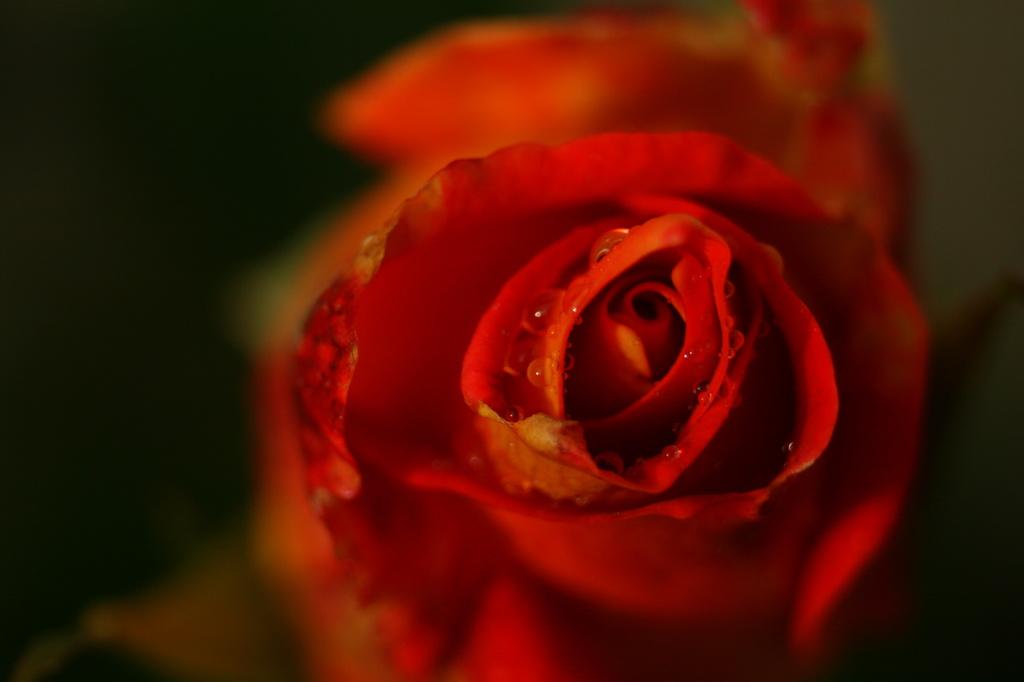 Rose by kerristephens