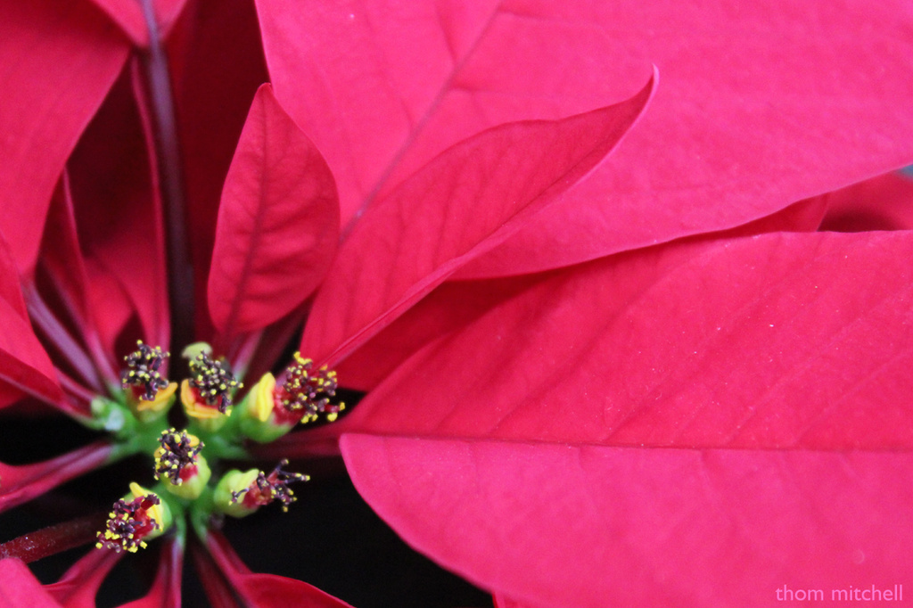 Poinsettia by rhoing