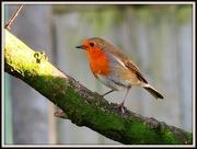 26th Dec 2012 - Our friendly garden robin