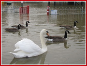 26th Dec 2012 - Swans and floods