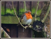 27th Dec 2012 - Here he is in the lilac tree