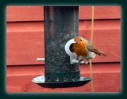 27th Dec 2012 - Christmas robin