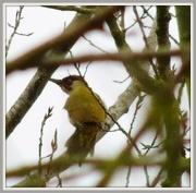 28th Dec 2012 - Green Woodpecker