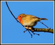 29th Dec 2012 - Boxing Day robin from Wood Lane