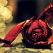 Dead Rose with Bokeh by andycoleborn