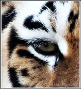 31st Dec 2012 - Eye Of The Tiger