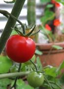 1st Jan 2013 - first tomato