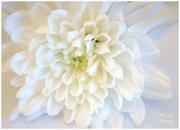1st Jan 2013 - Chrysanthemum