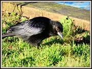 2nd Jan 2013 - Young Crow