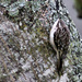 Brown Creeper by cjwhite