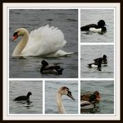 3rd Jan 2013 - Ducks at Priory