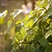minty fresh by corymbia
