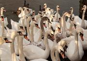 4th Jan 2013 - Sunlit swans