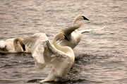 4th Jan 2013 - Trumpeter Swans