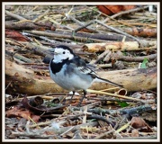 4th Jan 2013 - Pied Wagtail