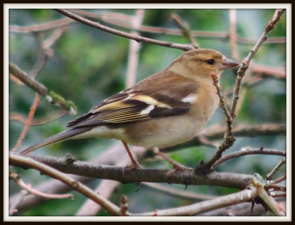 Female Chaffinch by rosiekind