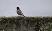 5th Jan 2013 - Why did the Robin cross the road?