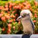 Kookaburra sits by bella_ss
