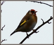 6th Jan 2013 - Goldfinch