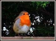 7th Jan 2013 - Robin redbreast
