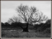 7th Jan 2013 - Old Tree