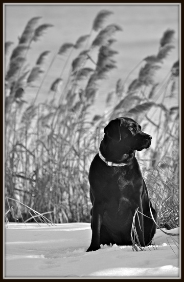 Black lab on snow by sailingmusic