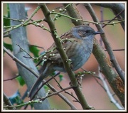 8th Jan 2013 - Dunnock