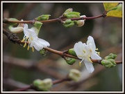 8th Jan 2013 - New blossom for a new year
