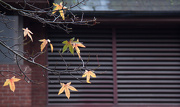 8th Jan 2013 - A persistence of leaves