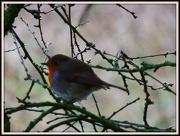 11th Jan 2013 - Lovely fat robin