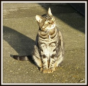 11th Jan 2013 - Tabby Cat