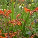 Crocosmia ( orange flowers) by snowy