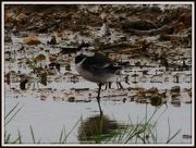 12th Jan 2013 - Wagtail in the field