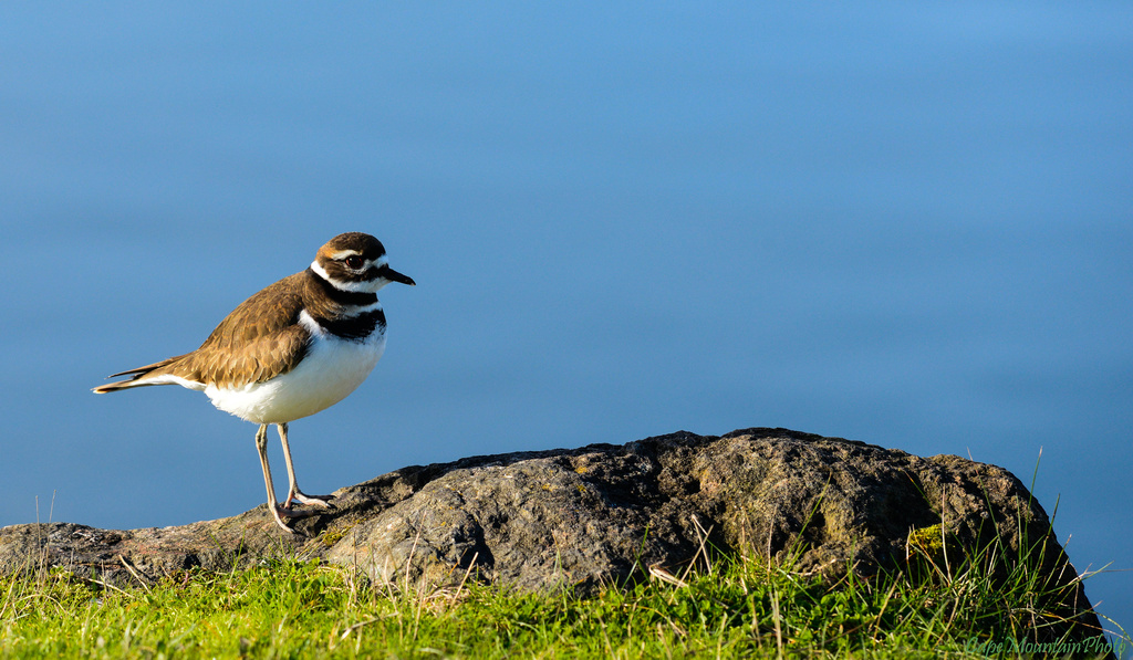 Killdeer by jgpittenger