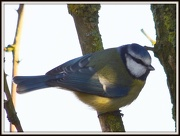 13th Jan 2013 - Blue Tit