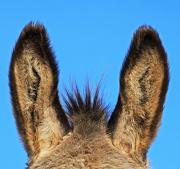 13th Jan 2013 - donkey's ears