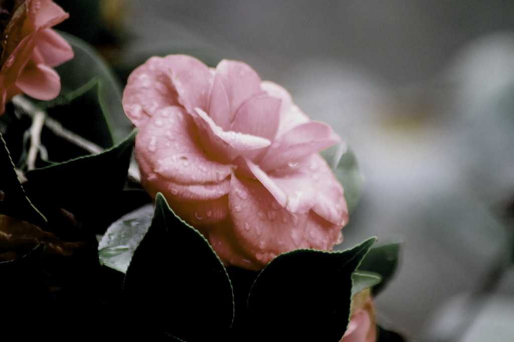 Raindrops on the petals by vernabeth