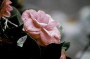 22nd Dec 2012 - Raindrops on the petals