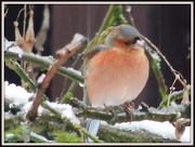 14th Jan 2013 - Another chaffinch