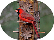 25th Dec 2012 - Cardinal