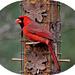 Cardinal by vernabeth