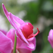 10th Jan 2013 - Moth Orchid: Come hither!