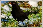 15th Jan 2013 - Another blackbird