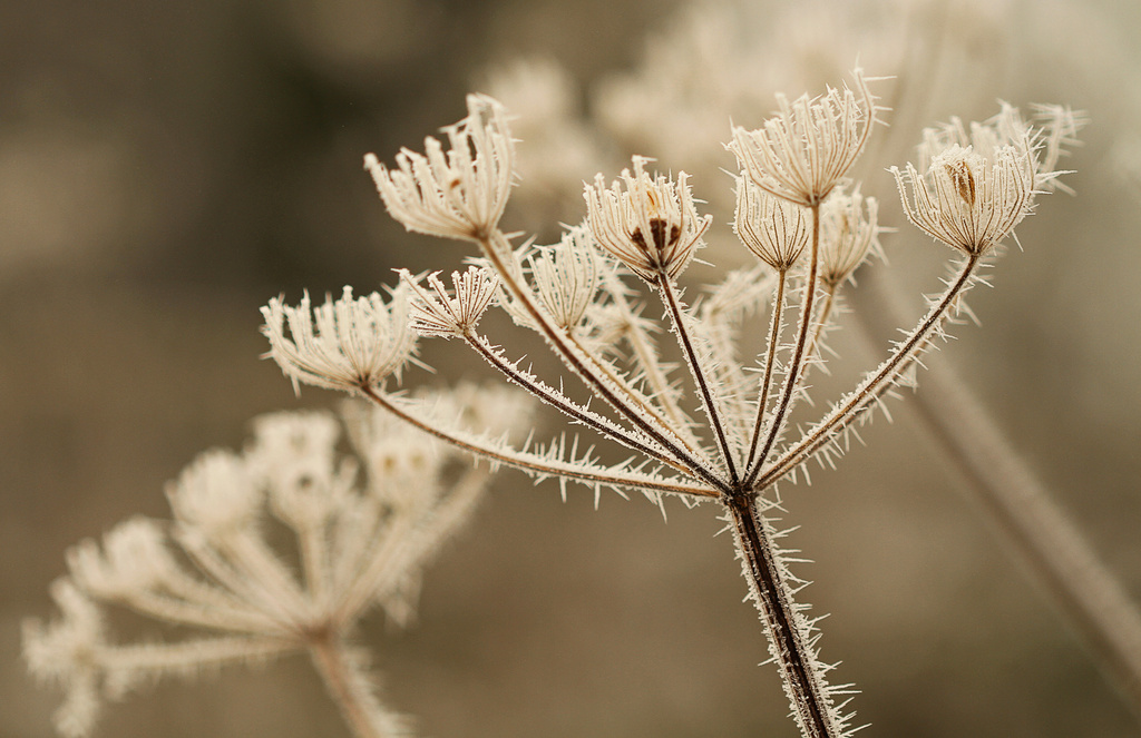 best frost EVER! cow parsley by jantan
