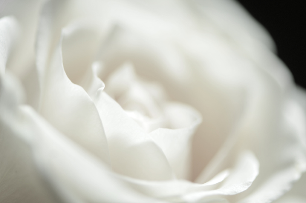 White Rose  by seanoneill