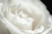 16th Jan 2013 - White Rose