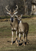 16th Jan 2013 - Deer Couple