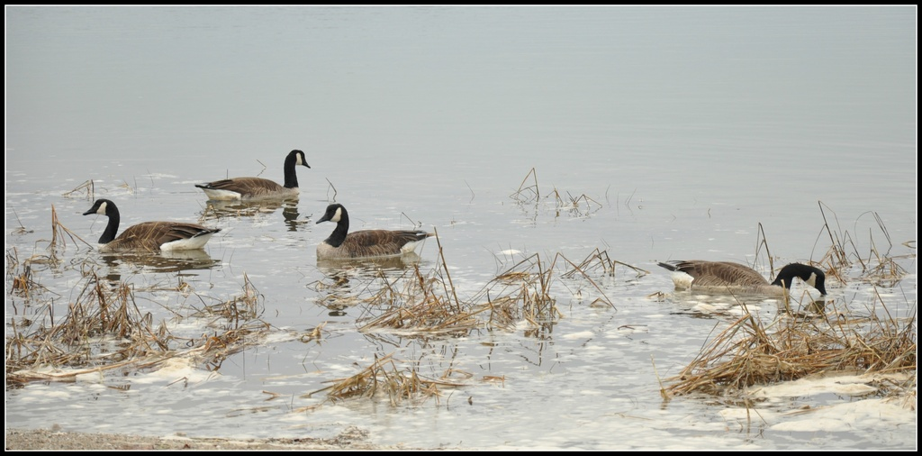 Geese and foam in fog. by sailingmusic