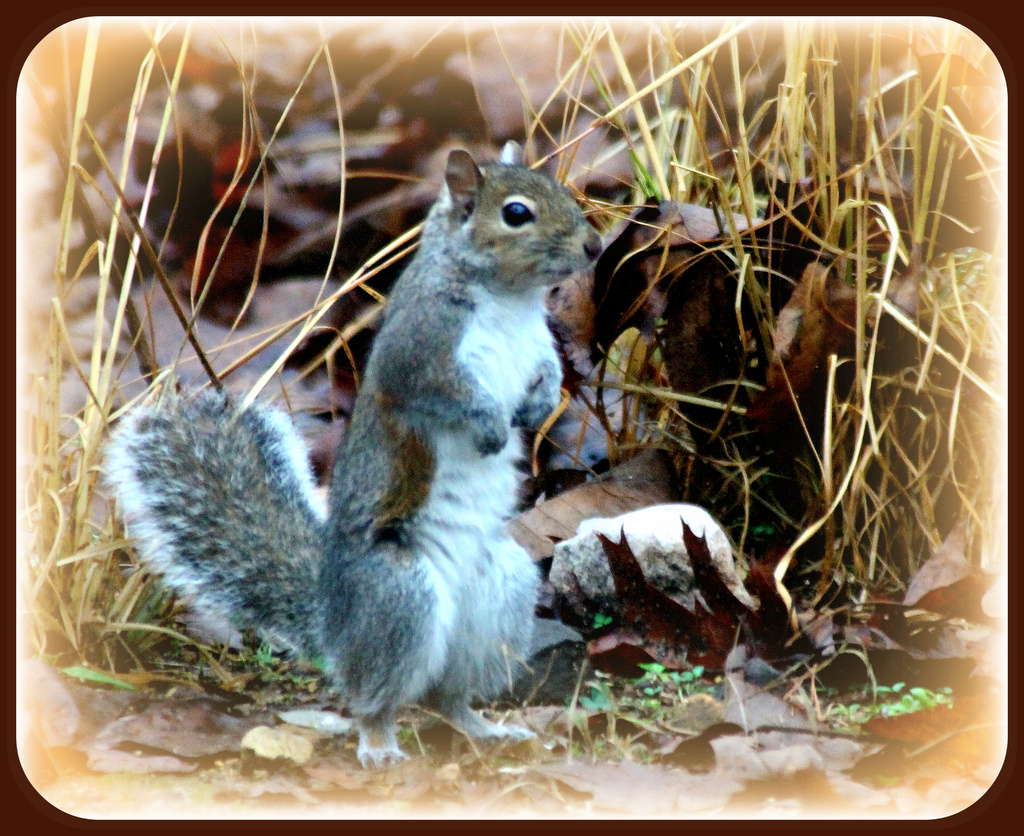 This little squirrely went to market by vernabeth